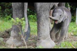 Baby elephant born in North Sumatra's Tangkahan CRU